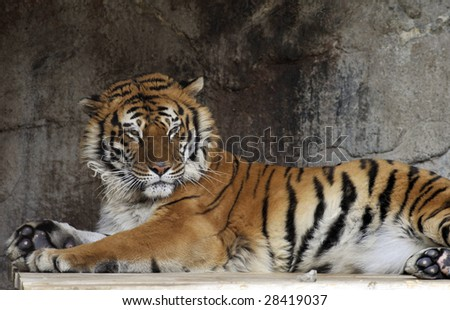 Portrait of young adult tiger in a zoo.