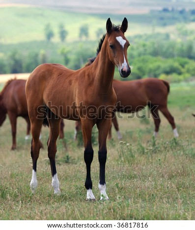 portrait of young akhal-teke foal on the pasture