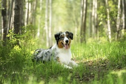 Portrait of young and cute Blue merle Australian shepherd dog in the forest at sunset in summer. Beautiful aussie puppy lying outdoors