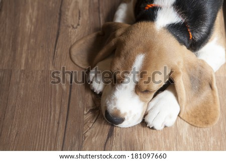 Portrait of young Beagle dog lying on the floor