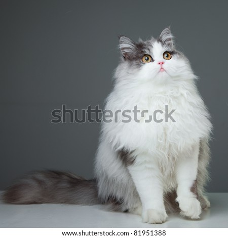 Portrait of young beautiful gray and white persian cat with yellow eyes sitting on grey background