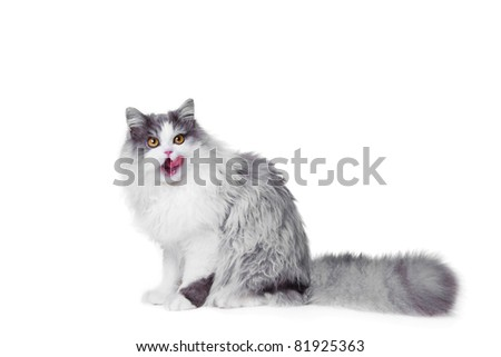 Portrait of young beautiful licking gray and white persian cat sitting on isolated background