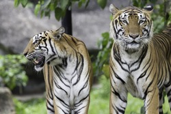 Portrait of young bengal tiger in the zoo / Asia, Thailand