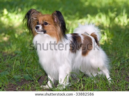Portrait of Young dog of breed papillon