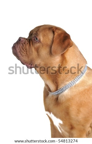 Portrait of young French Mastiff #54813274