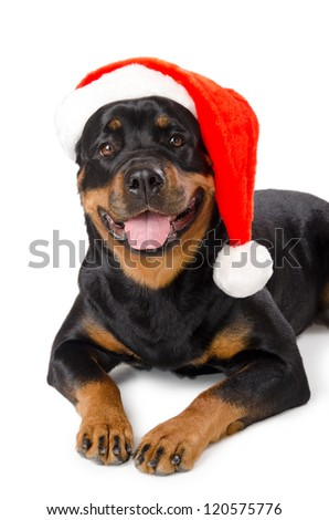 Portrait of young funny Rottweiler in Santa hat, isolated on white
