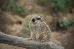 Portrait of young meerkat standing on tree branch