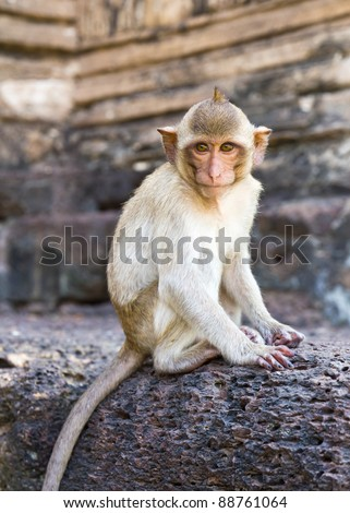 Portrait of young rhesus macaque monkey in Wat Phra Prang Sam Yot temple  in Thailand