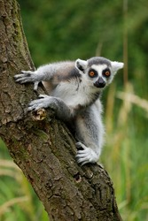 Portrait of young ring-tailed lemur, Lemur catta, climbing on tree trunk. Fidgety primate with beautiful orange eyes. Endangered animal. Wildlife scene with cute mammal. Habitat Madagascar, Africa.