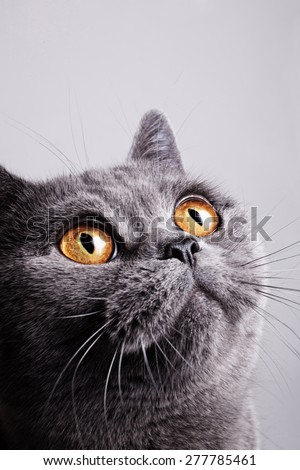 Portrait of young short-haired British gray cat on a white background