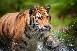 Portrait of  young Siberian tiger, Panthera tigris altaica, walking in forest stream in dark green spruce forest. Tiger among water drops in typical taiga environment.