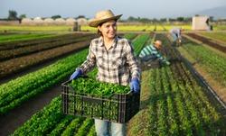 Portrait of young woman seasonal farm worker picking organic corn salad on field