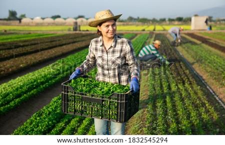 Portrait of young woman seasonal farm worker picking organic corn salad on field Foto stock ©