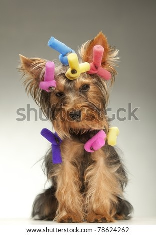 Portrait of young Yorkshire Terrier dog over dark background