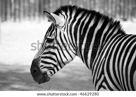 black and white pictures of zebras. of zebra black and white