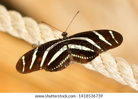Portrait of Zebra Longwing Butterfly. The butterfly is mainly distributed in South America and Central America.