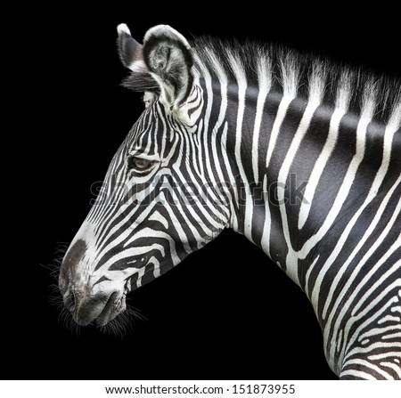portrait of zebra on background  #151873955