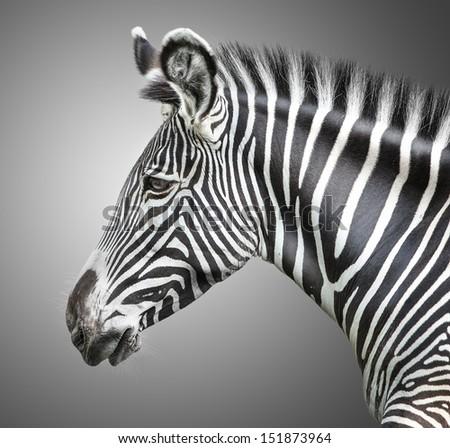 portrait of zebra on background  #151873964