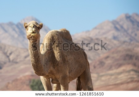 Portrait ofcamel looking straight into my camera. Camel in Jordan desert, funny close up. Humorous photo of camel. Wadi Rum, Jordan. Animal in desert