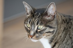 Portrait or close up of a domestic cyper cat. Grey hair with black. close up foto van een grijze cyperse huis kat