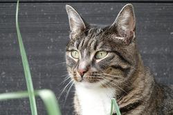 Portrait or close up of a domestic grey cyper cat sitting in the garden. with grey background. portret van een grijze cyperse kat, dieren reclame, huisdier,