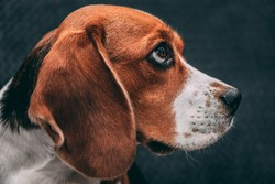 Portrait photo of a Beagle dog expressively looking to the side, on a gray blurred background. Dog face close up.