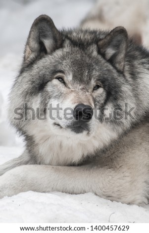 Portrait photo of a grey wolf laying down, staring in the distance on the right side of the picture. He looks calm and comfortable. Shot in Montebello, Quebec. Canada.