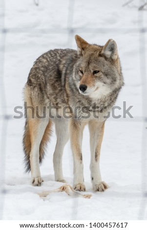 Portrait photo of a grey wolf standing in the snow, looking on the left side of the picture, with wired fence in soft focus in the foreground. Shot in Montebello, Quebec, Canada.