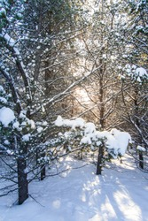 Portrait photo of a wintry forest covered in snow with light peaking through black spruce's branches on a cold afternoon. Shot in Abitibi, Quebec, Canada.