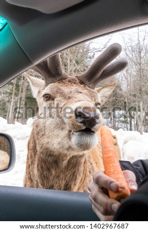 Portrait photo of an elk with growing antlers being fed a carrot through a car window in the winter. Shot in Montebello, Quebec, Canada.