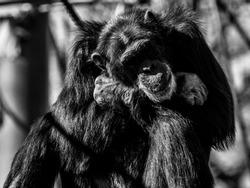 Portrait photo of chimpanzee. Monochrome.