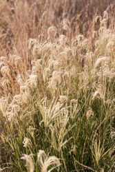 Portrait photo of long dry grass standing tall, being kissed by the afternoon sun, dancing in the warm summer breeze