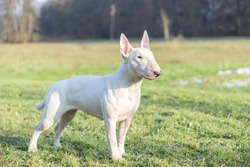 Portrait photo of white bull terrier outdoors on a sunny day