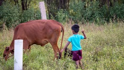 Portrait photo of Young Cute Little Village Boy shepherd in Blue T Shirt shepherding his Light Brown Cow or Bull in Green Plants Bush near Agricultural Farm Land in Tamilnadu India Asia