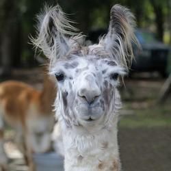 Portrait photograph of a llama on a farm. Selective focus on the face of the llama.
