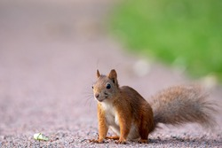 Portrait photography of a happy smiling squirrel that sits on a gravel road next to a lawn. Blurred bokeh background with place for text, lettering and copy space.