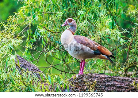 Portrait picture of a colorful nile goose