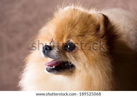 Portrait Pomeranian dog on a abstract background
