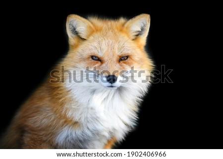 Portrait Red Fox, Vulpes vulpes, beautiful animal on black background. Wildlife nature Foto stock ©