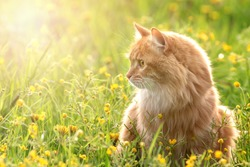 portrait red fur cat in green summer grass with yellow flowers in background
