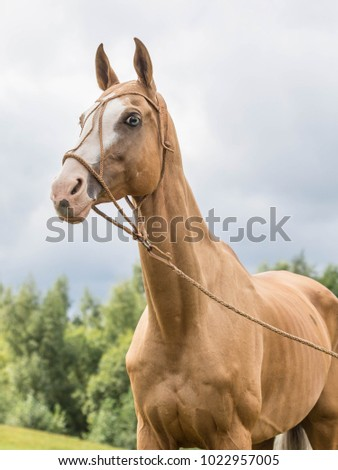 Portrait red horse with blue eyes in leather bridle Zdjęcia stock ©