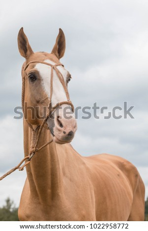 Portrait red horse with blue eyes in leather bridle. Clouds background Zdjęcia stock ©