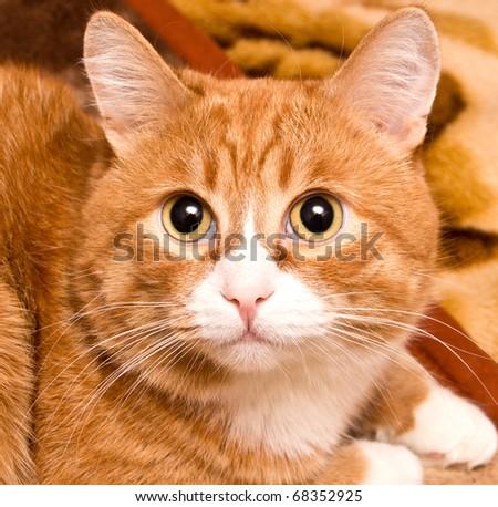 Portrait, redhead cat color