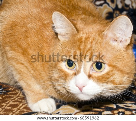 Portrait, redhead cat color