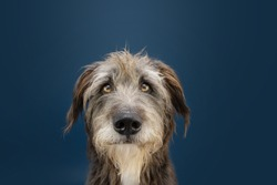 Portrait serious and attentive mixed breed dog looking at camera. Isolated on blue dark background.