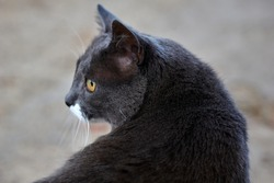 Portrait shot of a stray grey cat, with squinting eyes. The cat is sitting on grass. High quality photo