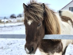 Portrait shot of an Icelandic white and brown horse with beautiful lovely hair standing in his stable during winters with snow all around the farm