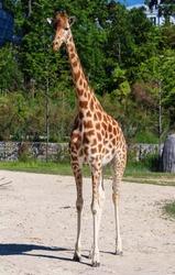 Portrait shot of young beautiful healthy female giraffe .