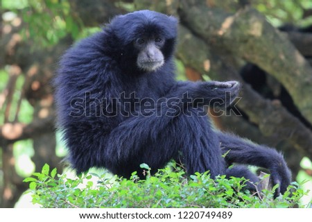 Portrait Siamang, wildlife Phptography