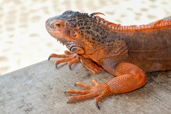 Portrait side view Red iguana on the wood. Focus on head and front of body with legs. Close-up, Face of the red iguana. Iguana Red is a genus of herbivorous lizards that are native to tropical areas.
